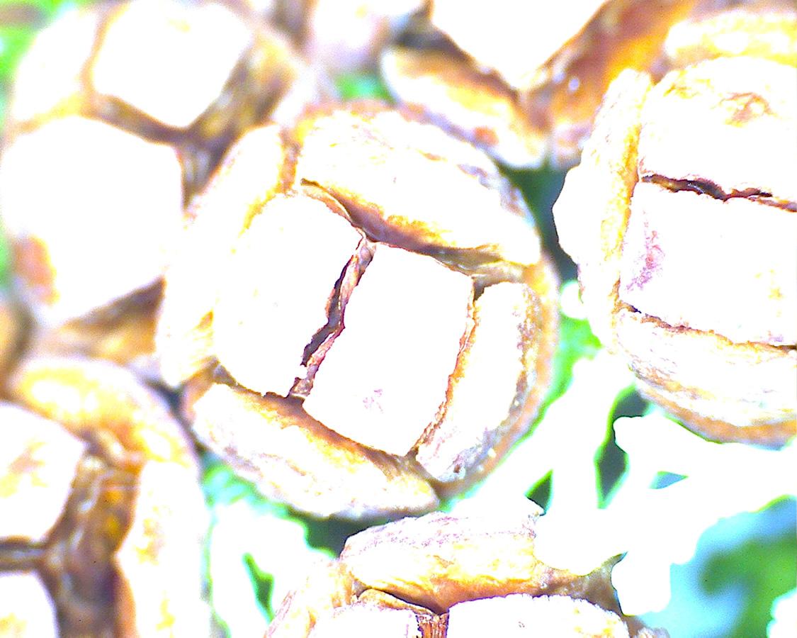 G6 - Foto 09 - Thuja gelb, Zapfen reif
