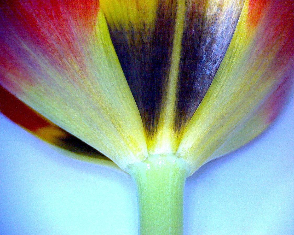 G6 - Foto 11 - Tulpe rot, Blütenblatt Detail