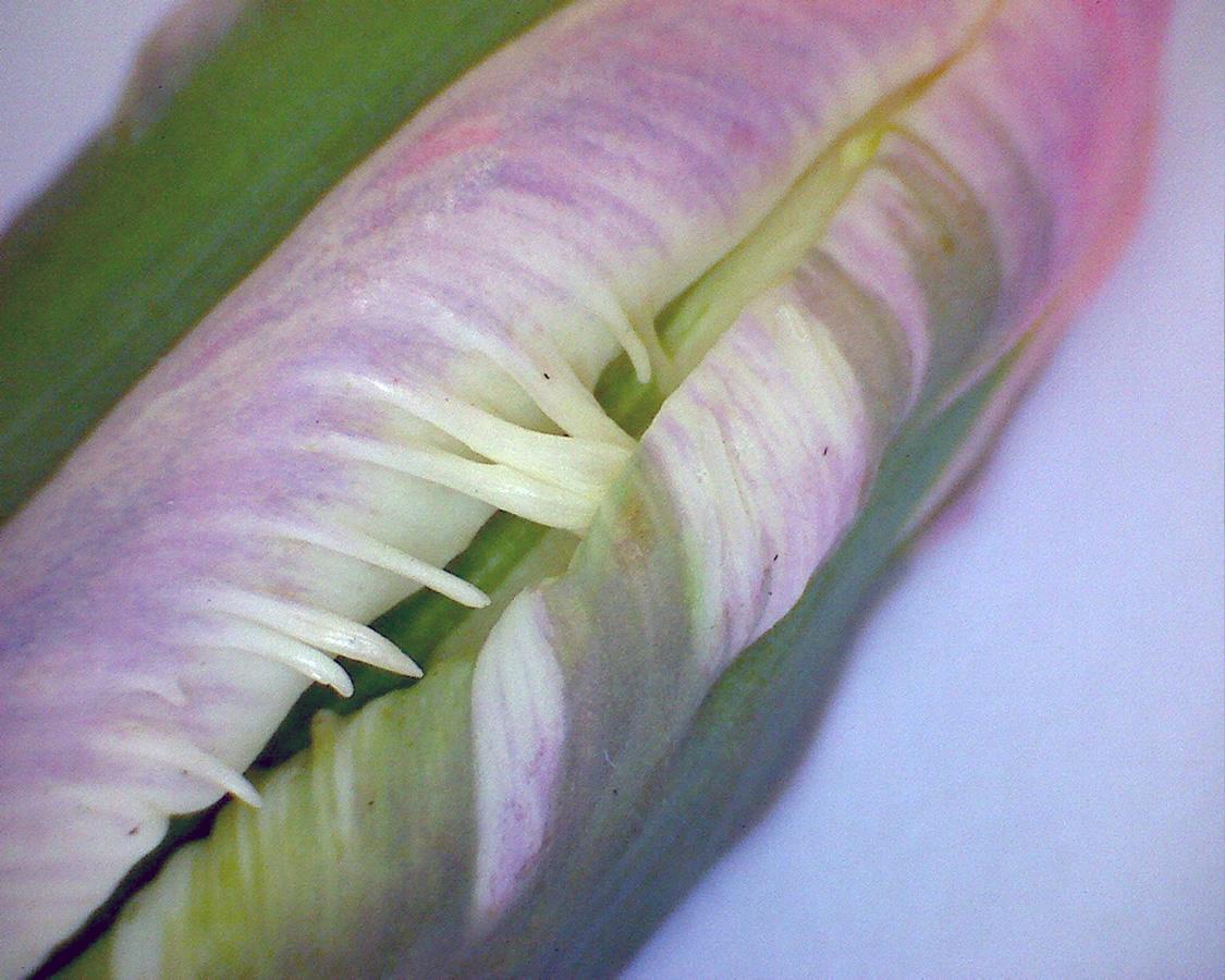 G6 - Foto 13 - Tulpe weiß, gezähnte Blütenblätter