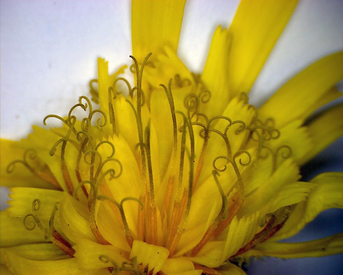 G6 - Foto 15 - Waldhabichtskraut, Blüte
