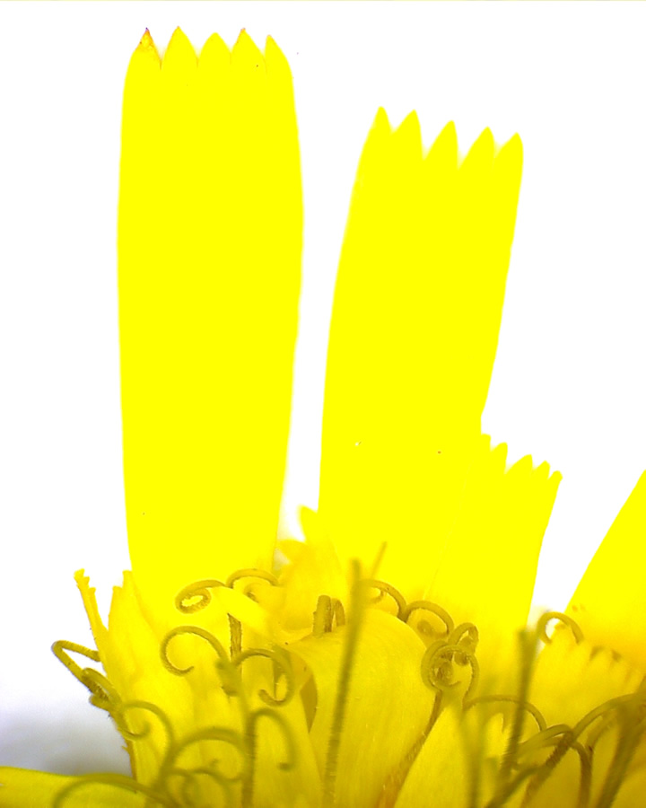 G6 - Foto 16 - Waldhabichtskraut, Blüte