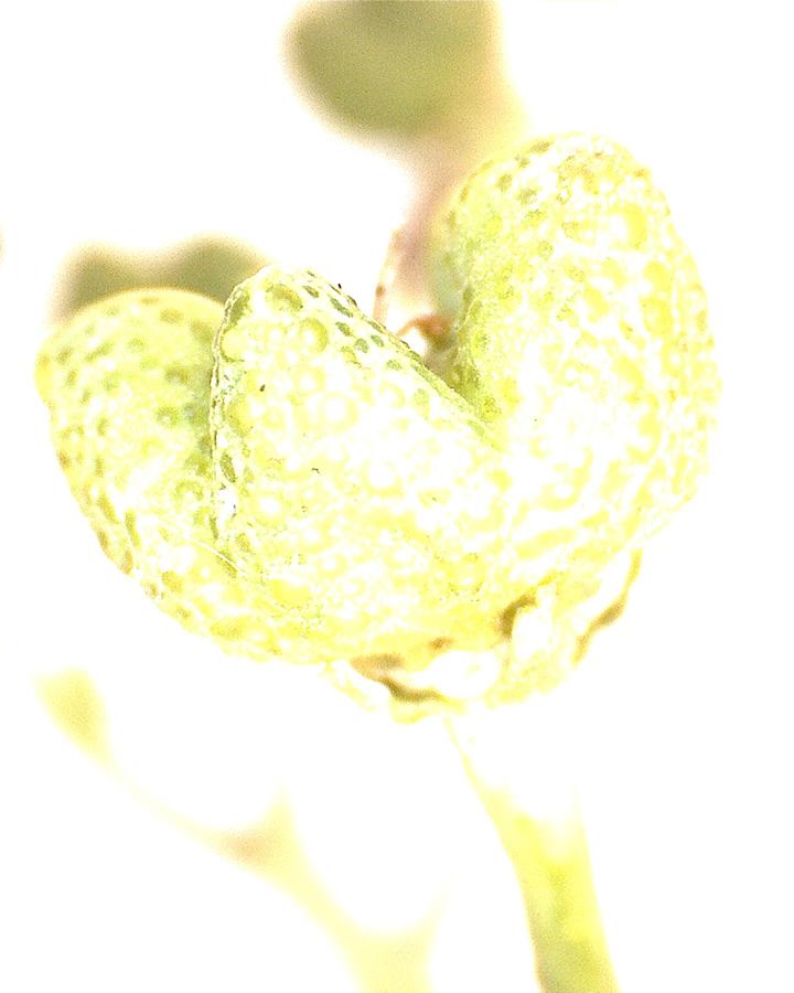 G6 - Foto 21 - Weiraute, Fruchtkapsel unreif