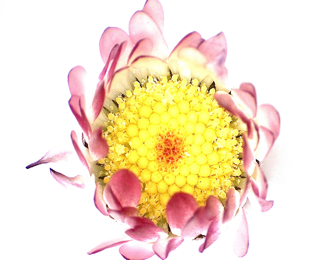 G7 - Foto 14 - Gänseblümchen, Blütenknospenserie