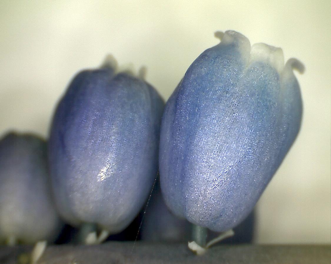 G7 - Foto 16 - Hyazinthe, Blütenstand