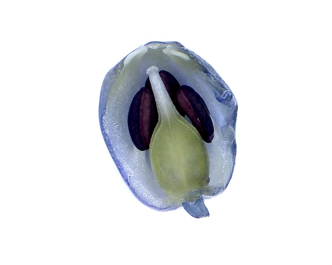 G7 - Foto 18 - Hyazinthe, Blütenstand