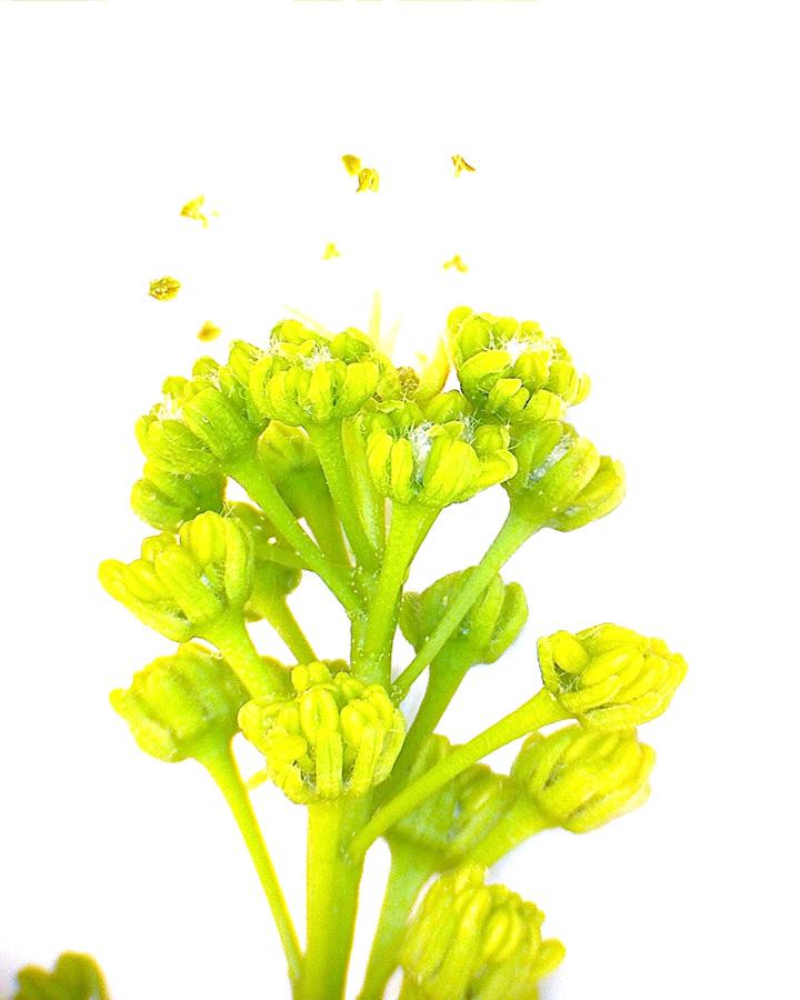 G8 - Foto 08 - Bergahorn, männliche Blütenstand