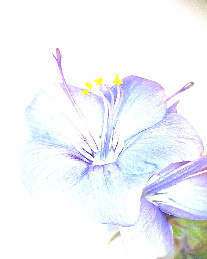 G8 - Foto 10 - Blume Alice, Blüte