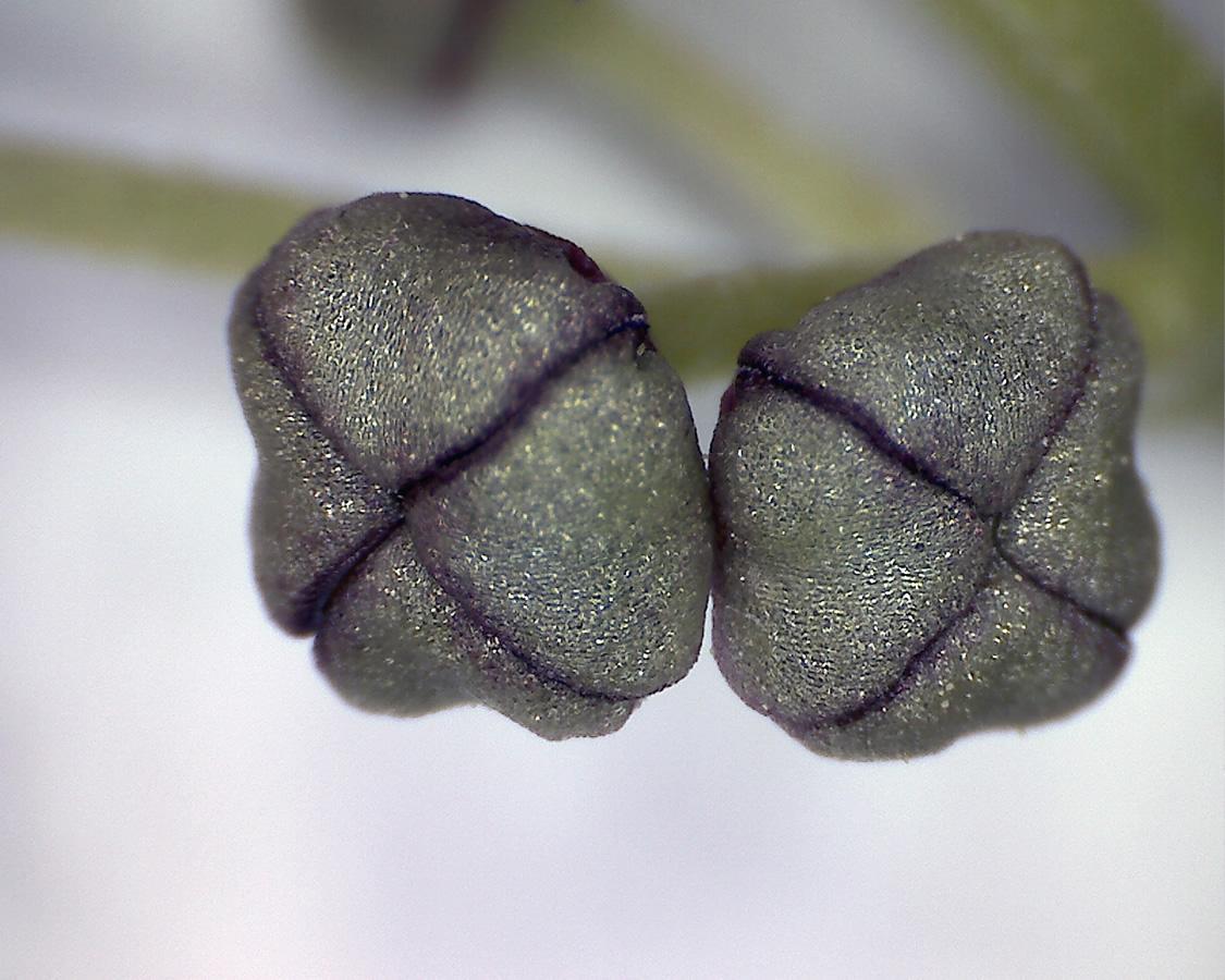 G8 - Foto 24 - Gefleckte Blätter, Blütenknospen