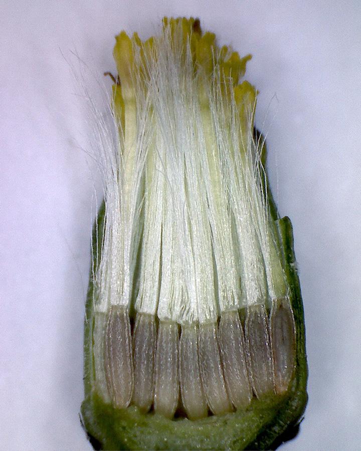G8 - Foto 25 - Gewöhnliches Greiskraut, Blütenknospe geöffnet