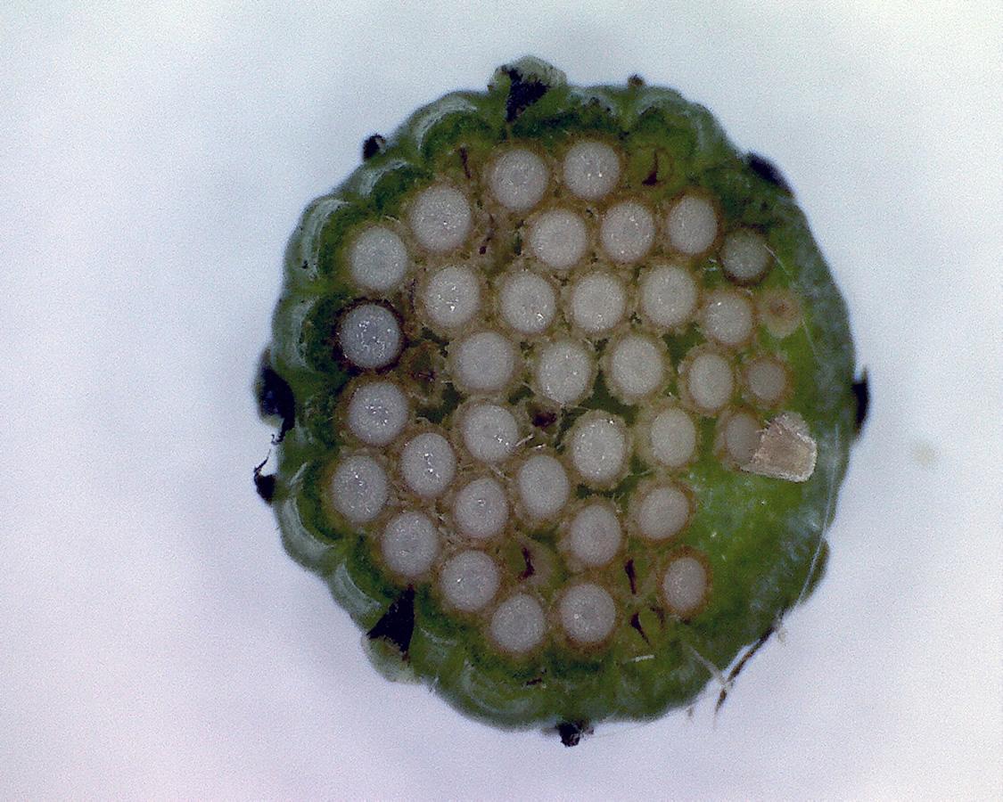G9 - Foto 01 - Gewöhnliches Greiskraut, Blütenknospe quer