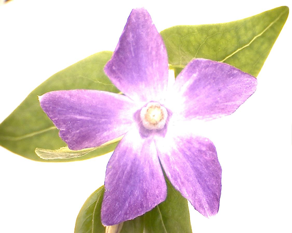 G9 - Foto 06 - Großes Immergrün, Blüte