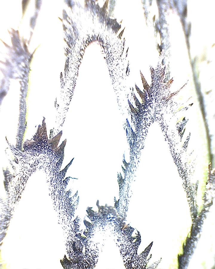 G9 - Foto 12 - Kornblume, Zierform, Blütenknospe