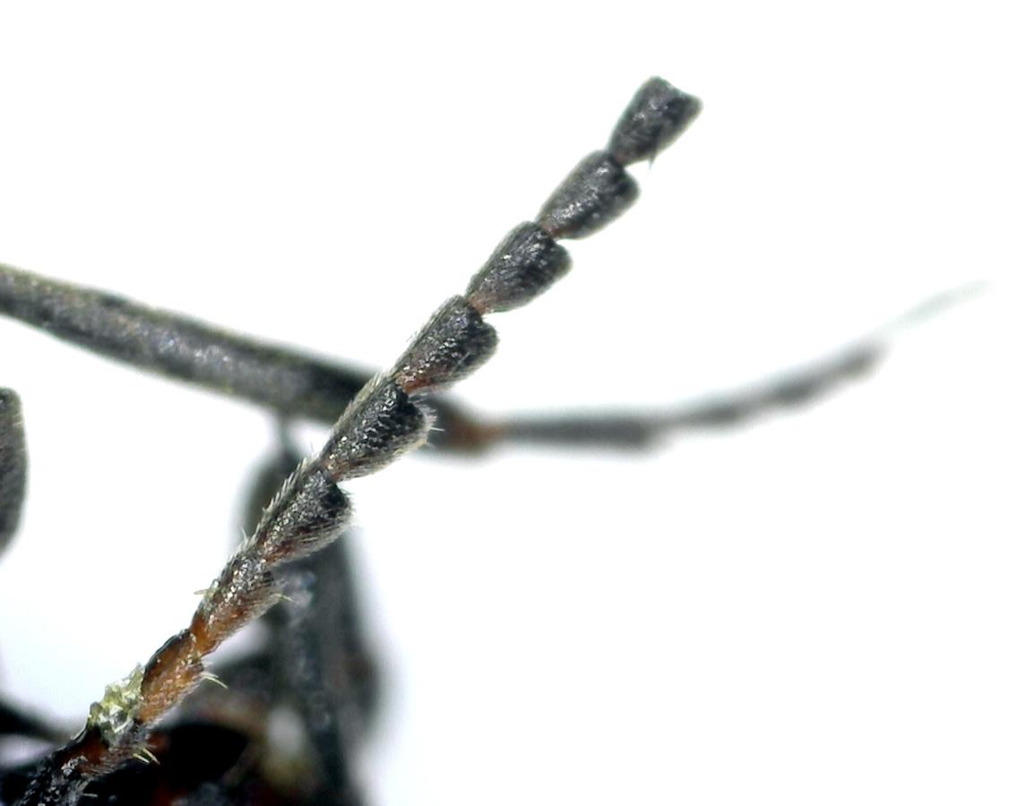 Gebänderter Stachelkäfer 06