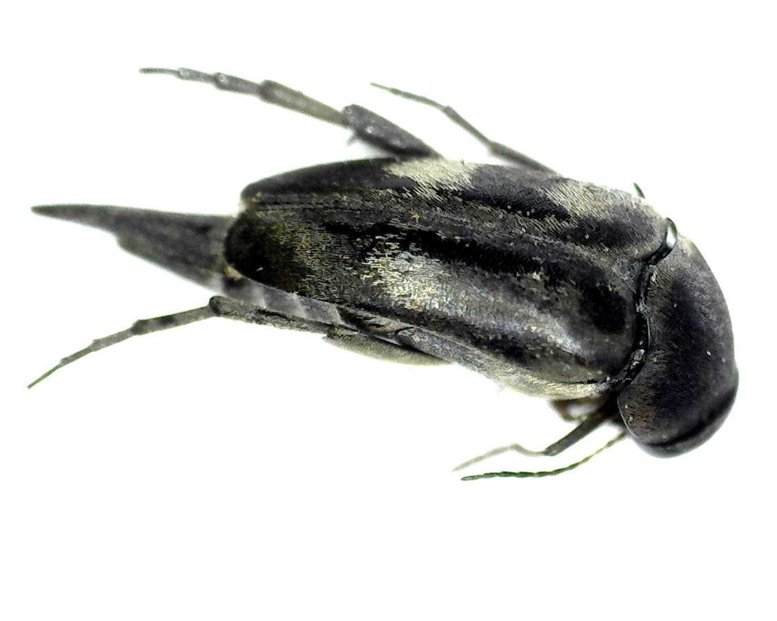 Gebänderter Stachelkäfer 15