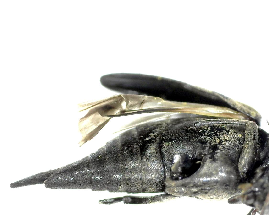 Gebänderter Stachelkäfer 16