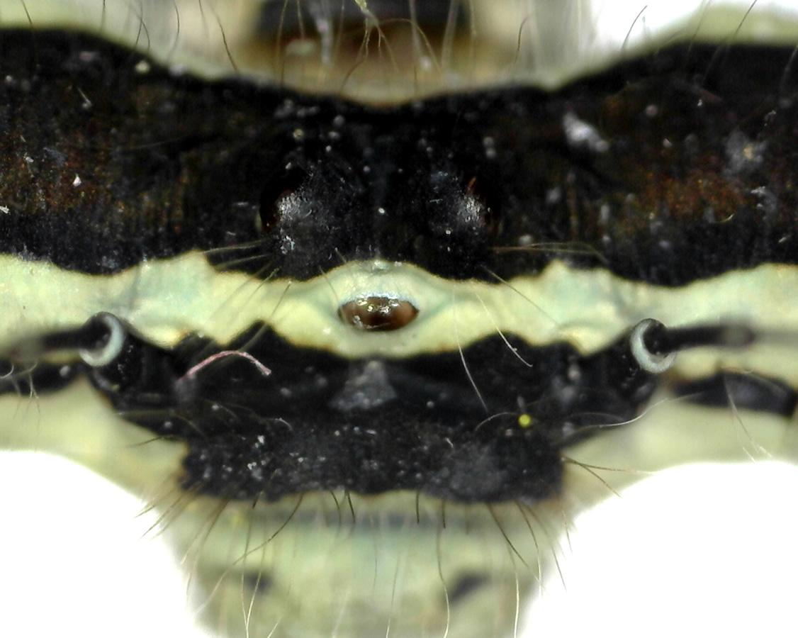 Gemeine Federlibelle 07