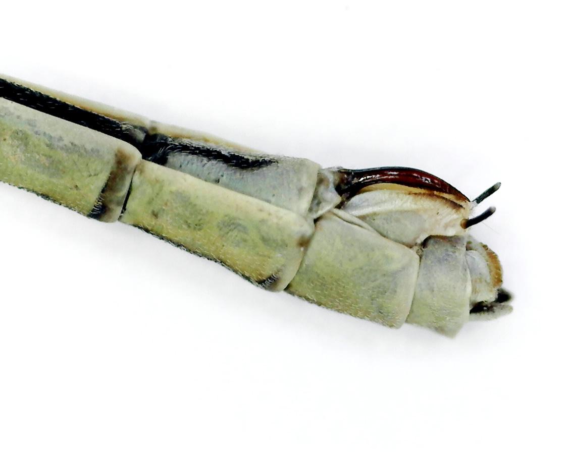 Gemeine Federlibelle 18