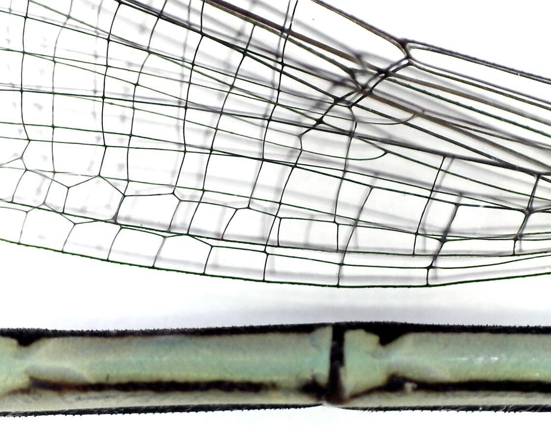 Gemeine Federlibelle 20