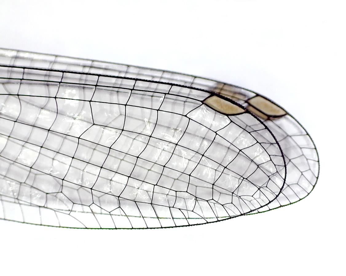 Gemeine Federlibelle 21