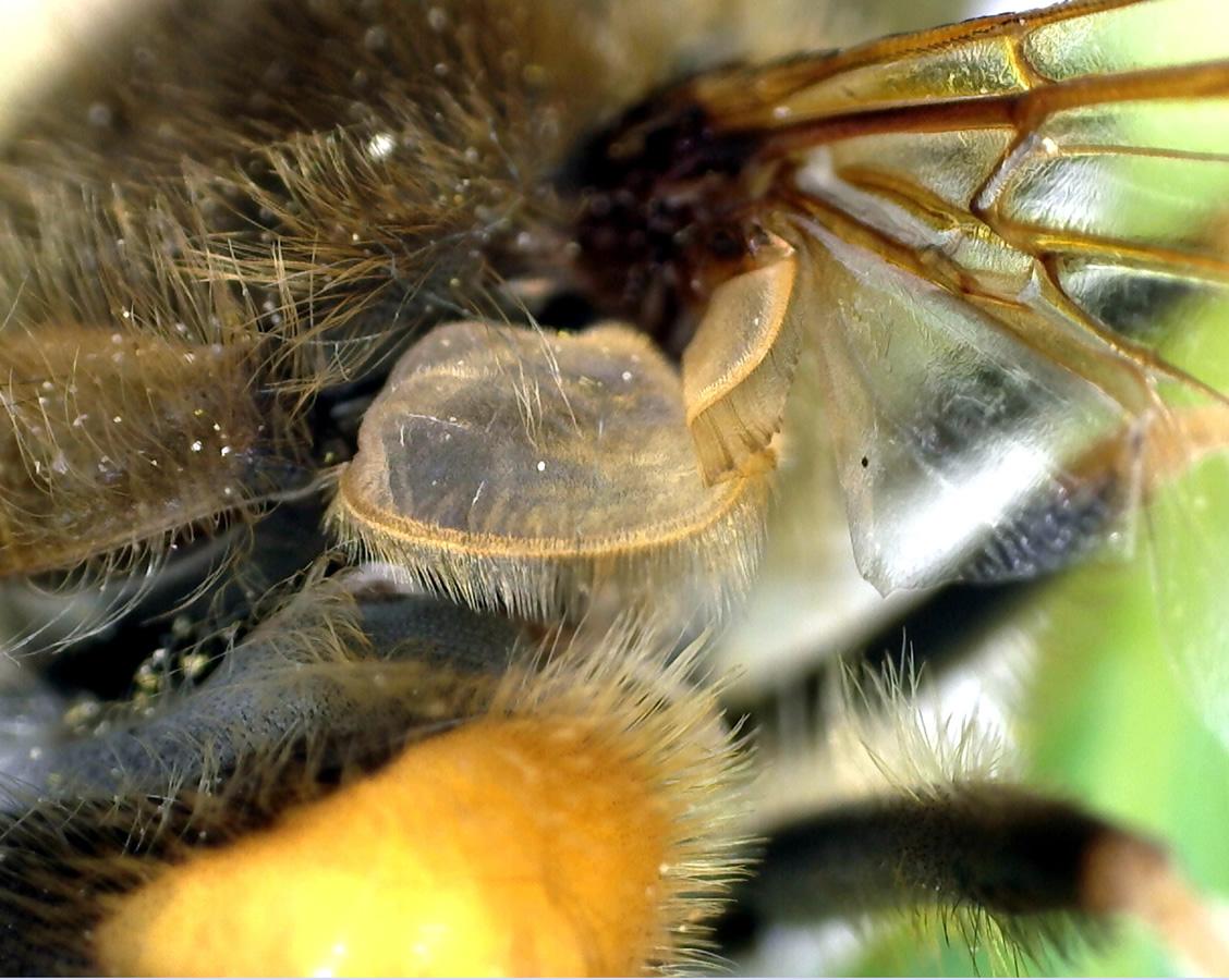 Gemeine Keilfleckschwebfliege 19