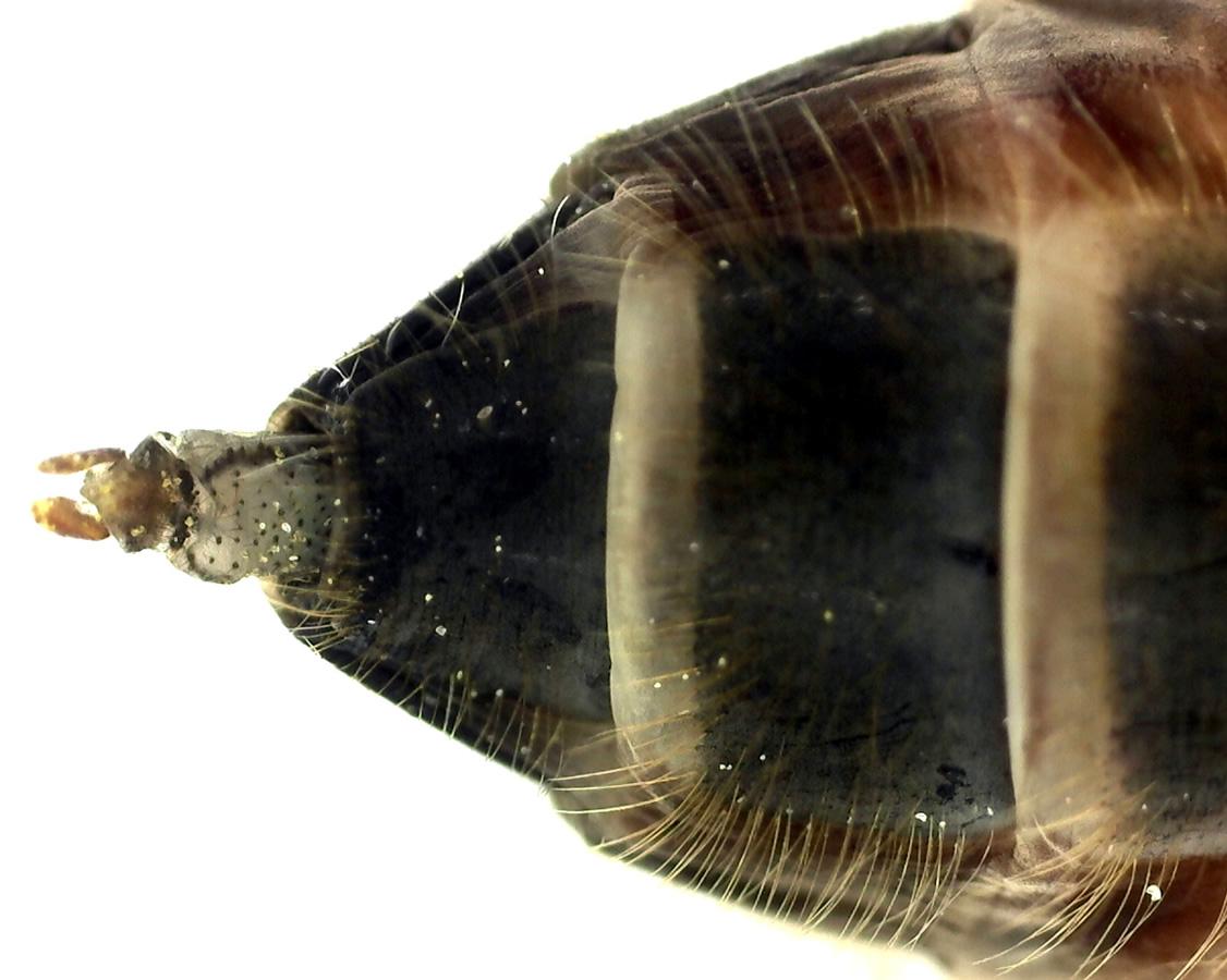 Gemeine Keilfleckschwebfliege 22