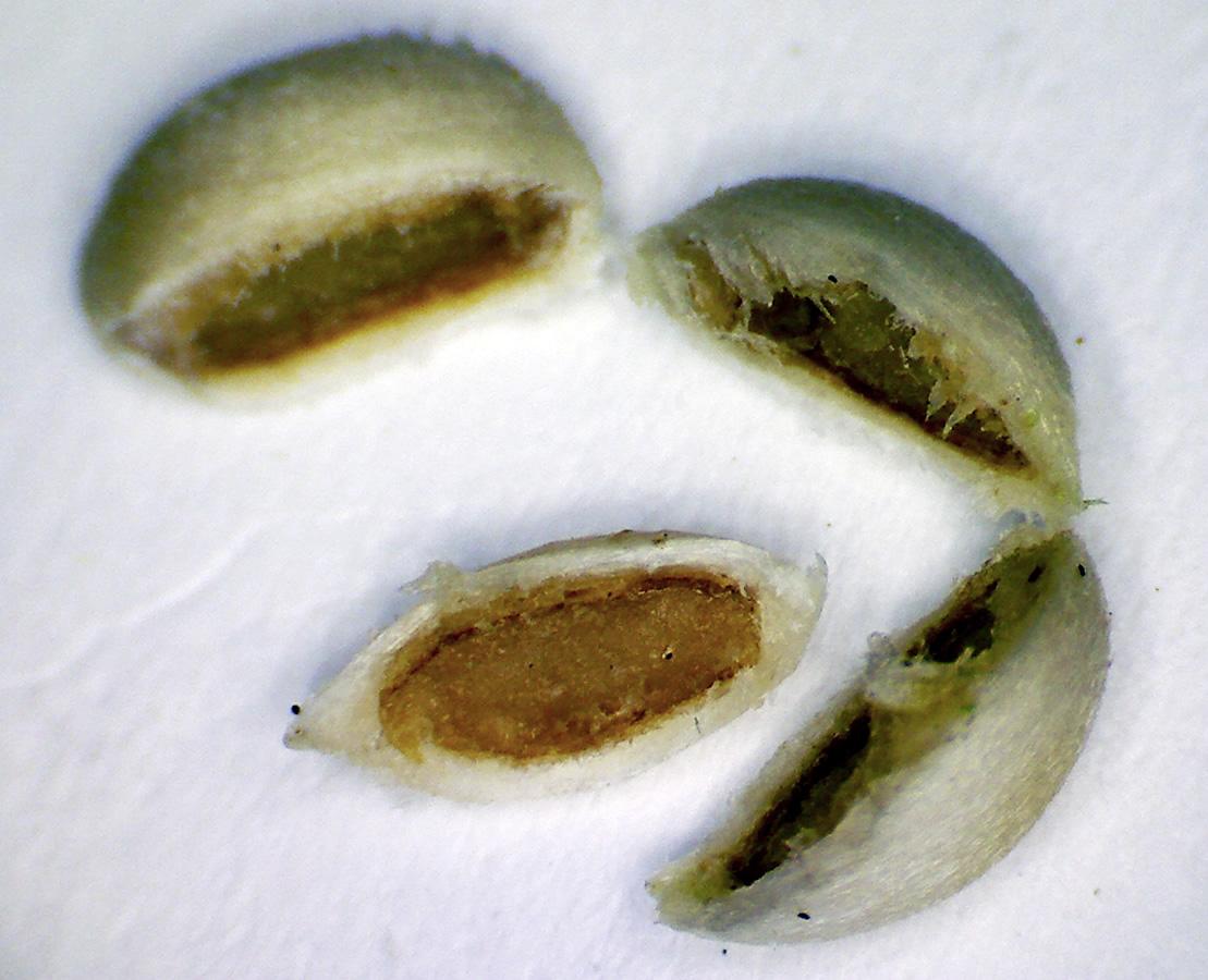 Gewöhnliche Schneebeere 22
