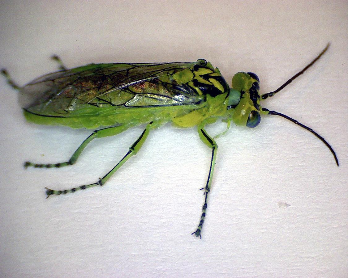 Grüne Blattwespe 01