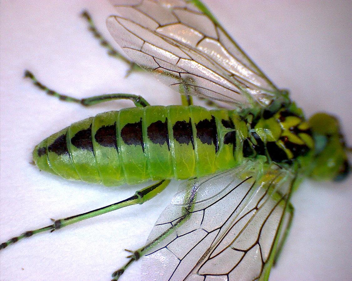 Grüne Blattwespe 03