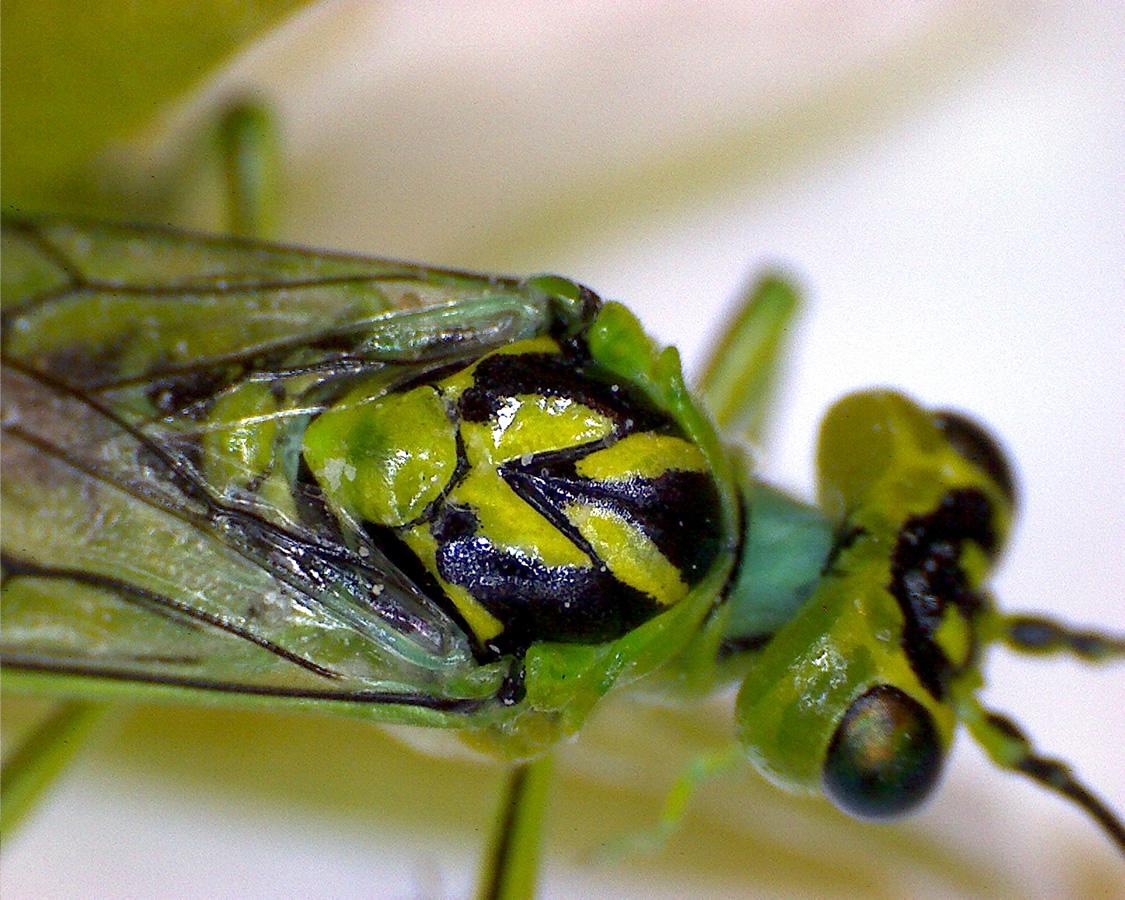 Grüne Blattwespe 04