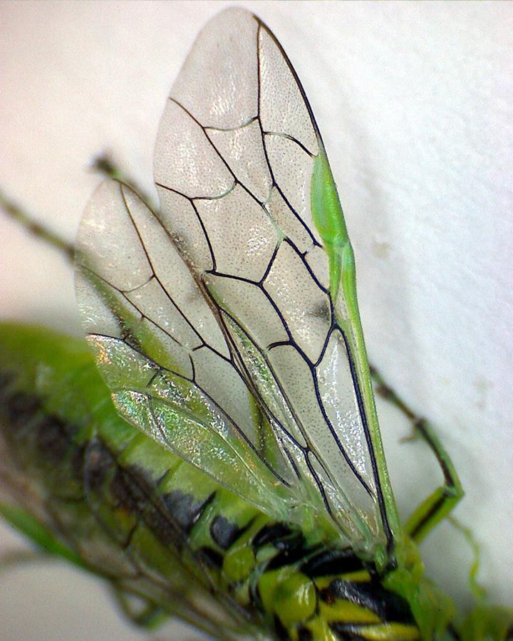 Grüne Blattwespe 08