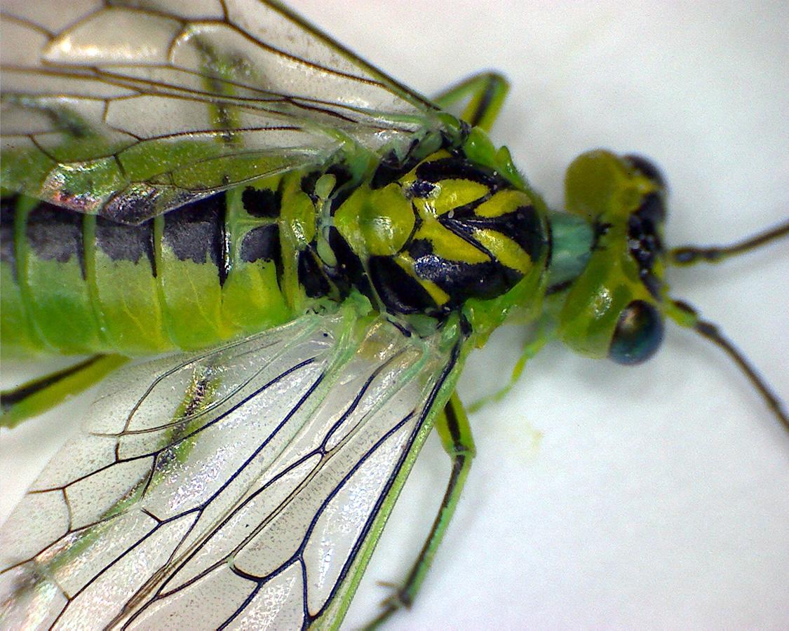 Grüne Blattwespe 09