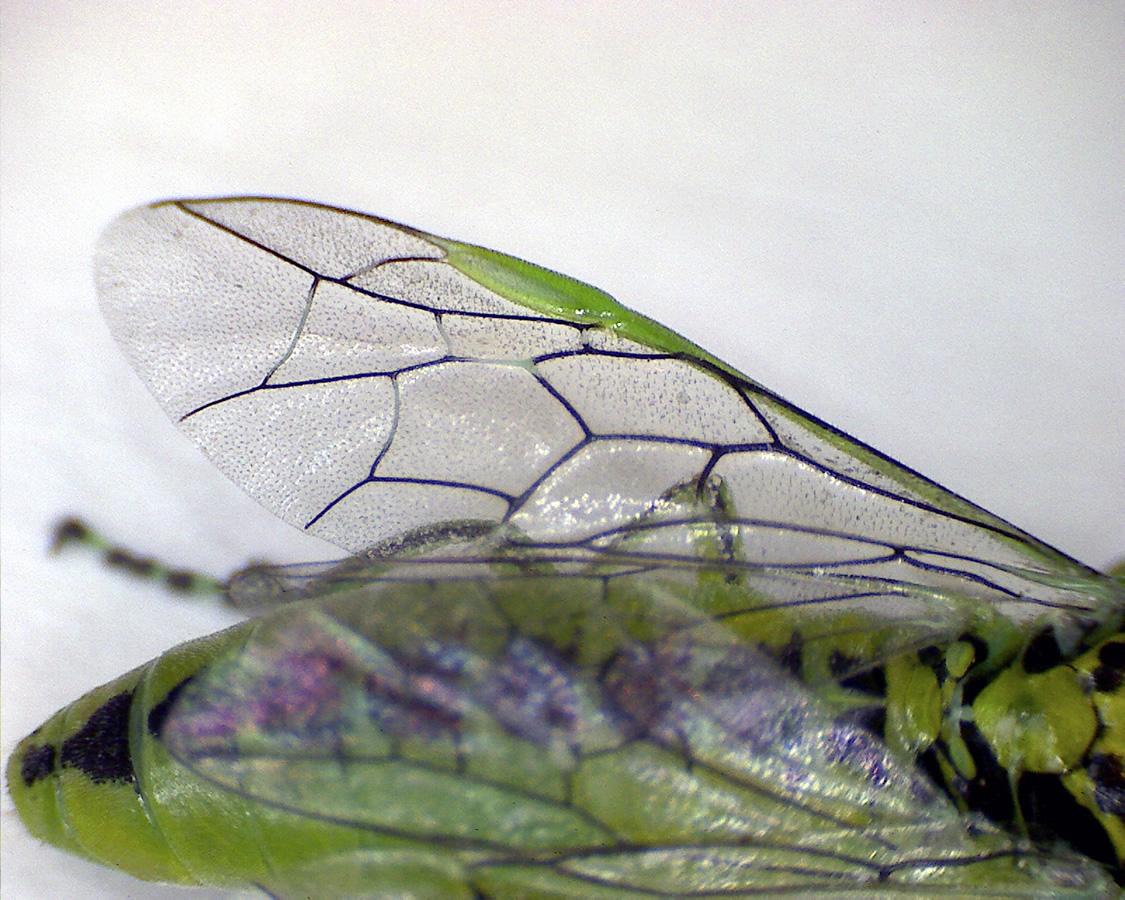 Grüne Blattwespe 10
