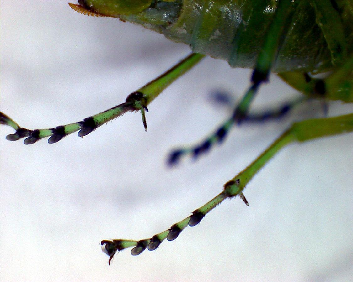 Grüne Blattwespe 17