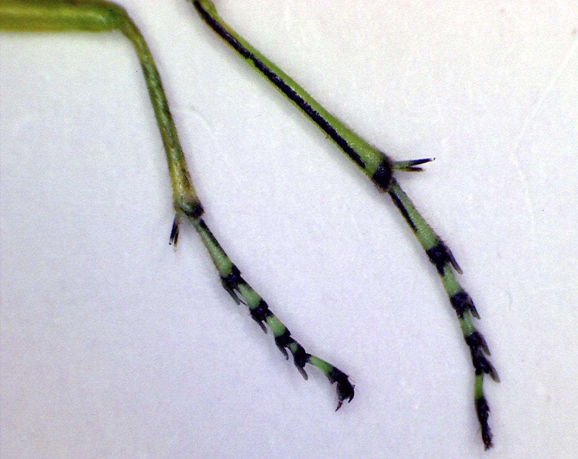 Grüne Blattwespe 18
