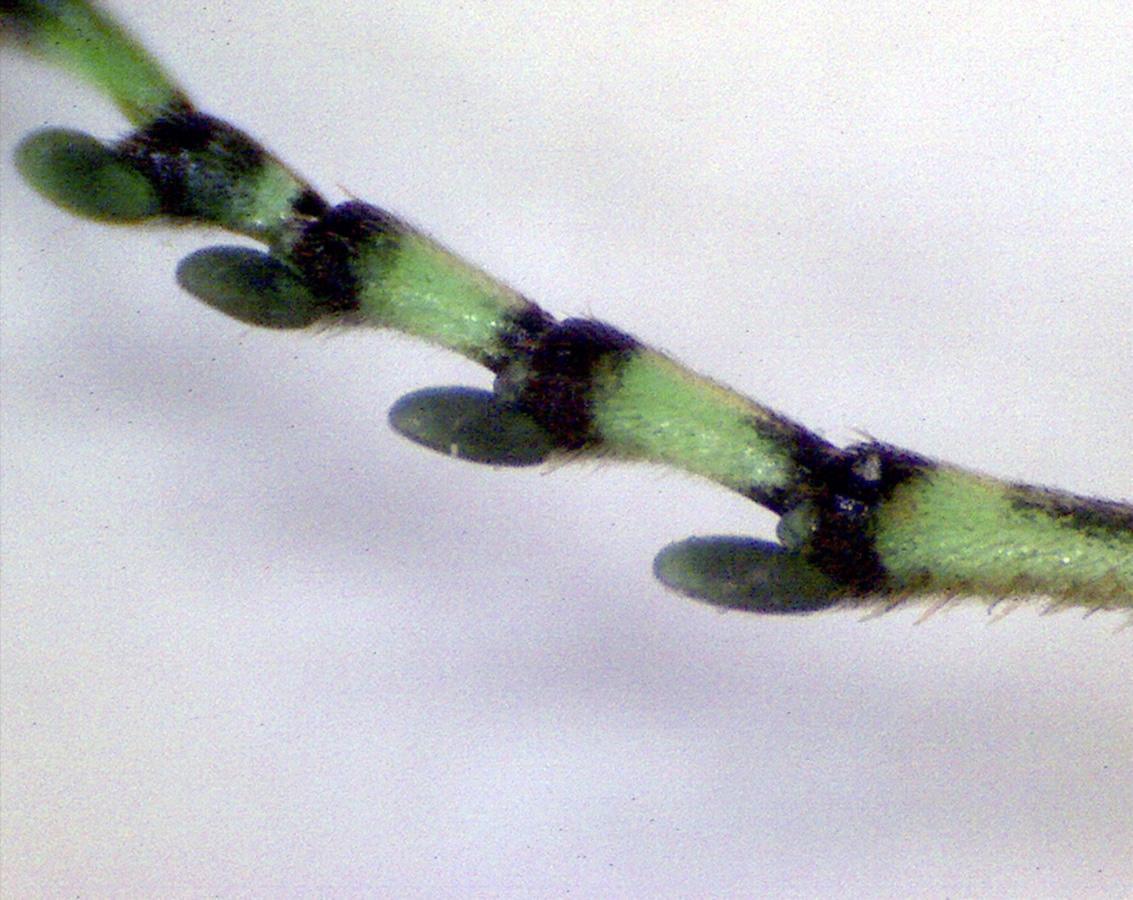 Grüne Blattwespe 19
