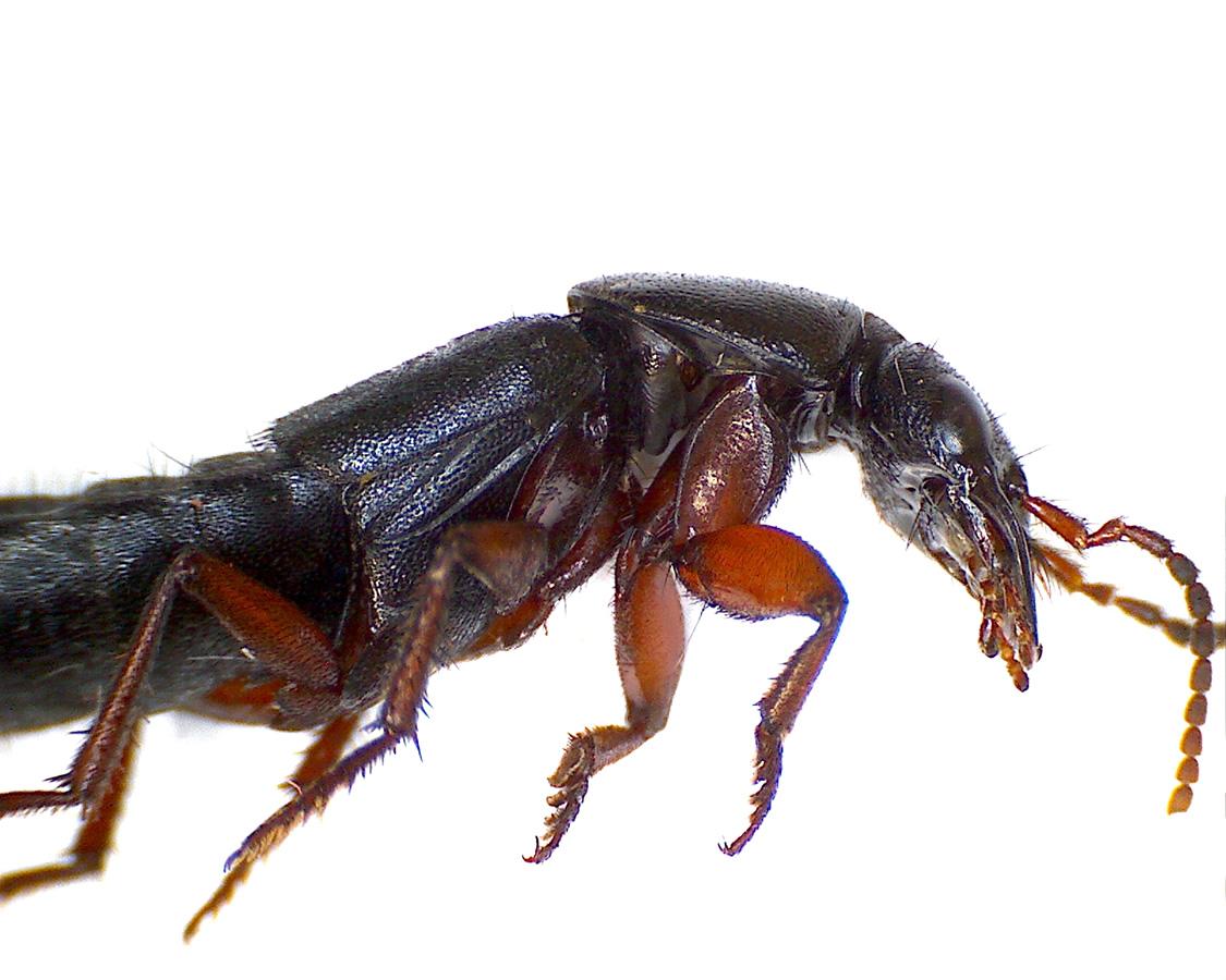 Ocypus brunnipes 04