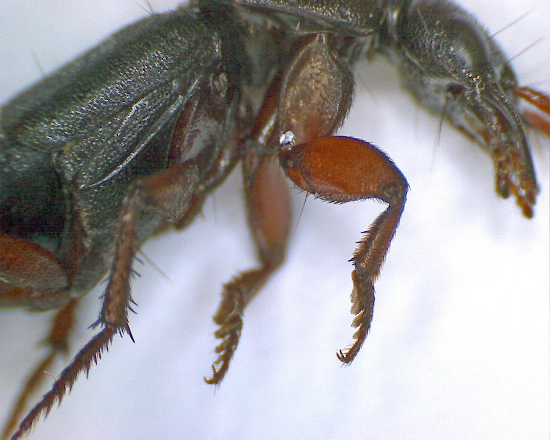 Ocypus brunnipes 05