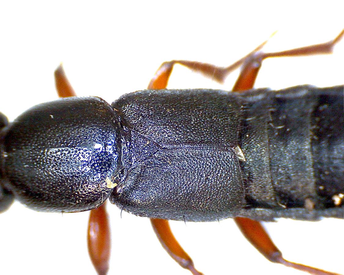 Ocypus brunnipes 07