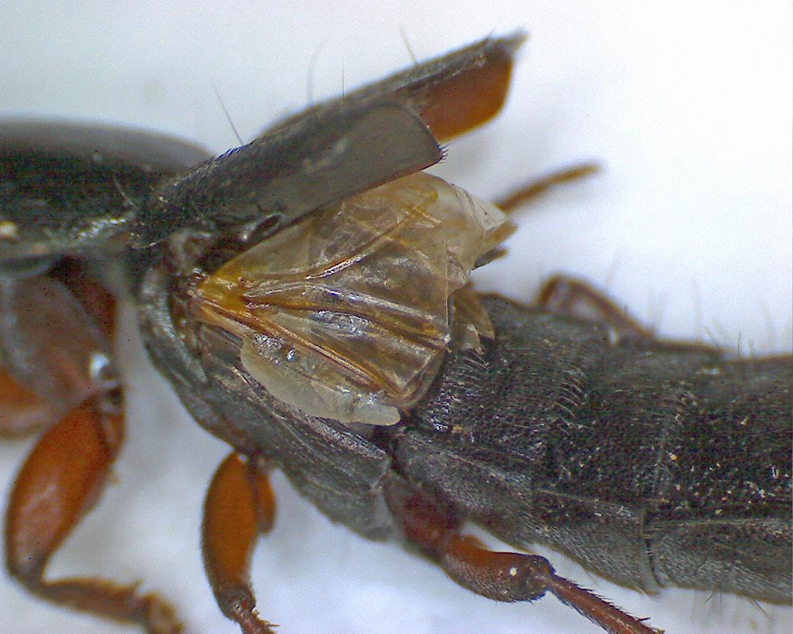 Ocypus brunnipes 08