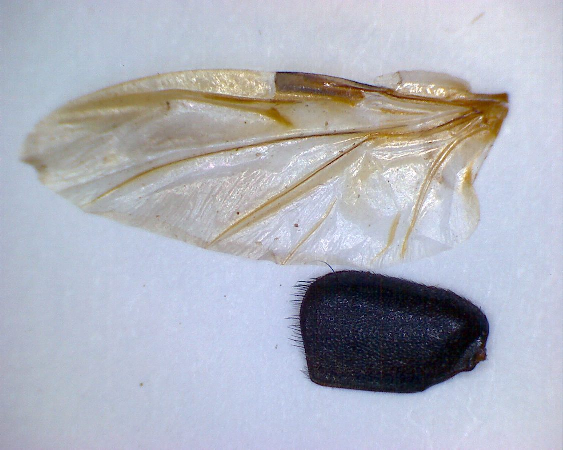 Ocypus brunnipes 10
