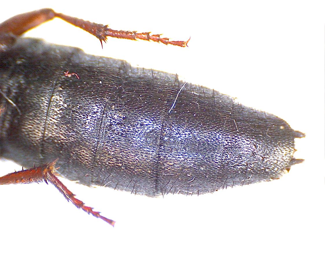 Ocypus brunnipes 12