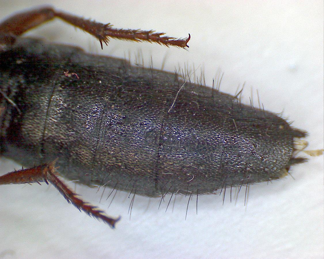 Ocypus brunnipes 13