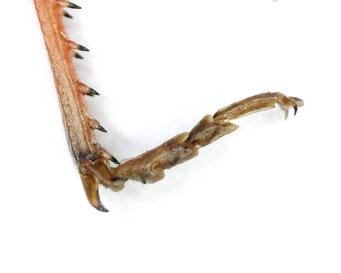 Rote Keulenschrecke 25