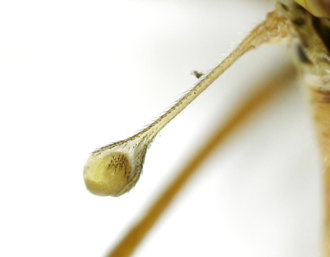 Schnake Nephrotoma spec 07