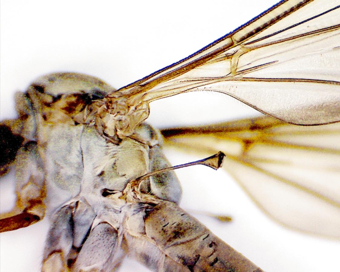 Schnake Nephrotoma spec 08