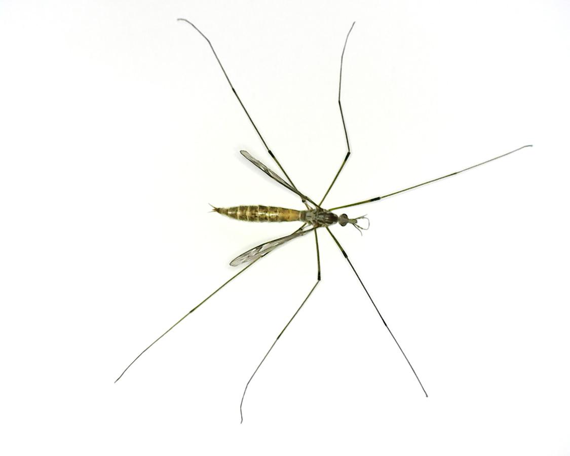 Schnake Tipula spec 01