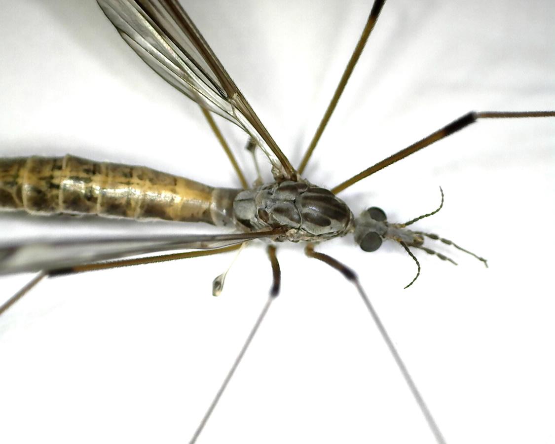 Schnake Tipula spec 05