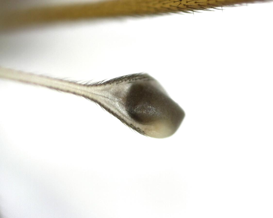 Schnake Tipula spec 08