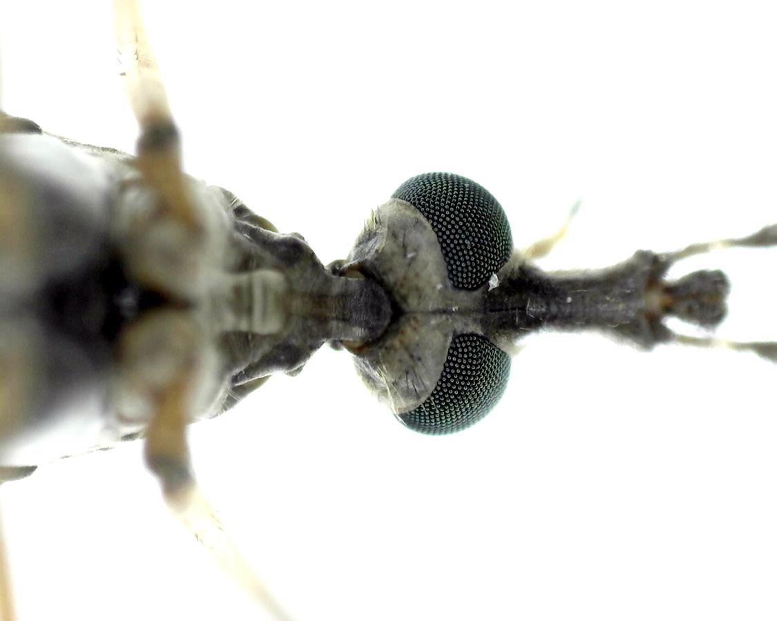 Schnake Tipula spec 10