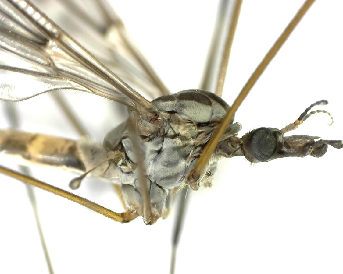 Schnake Tipula spec 12